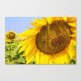 Varna Sunflower Field Canvas Print
