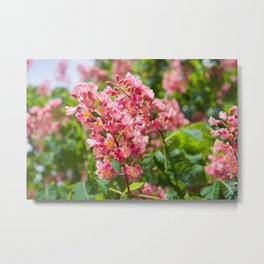Aesculus red blossom cluster Metal Print