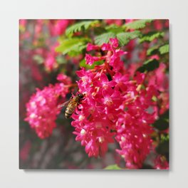 Bee and Blood Currant Ribes Sanguineum std Metal Print