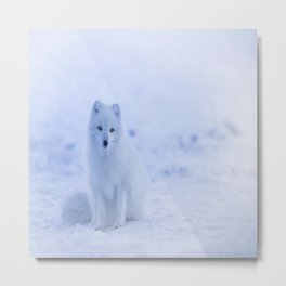 The Arctic Fox in Iceland Metal Print