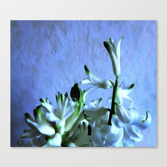 white hyacinthe on light blue background Canvas Print