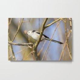 Long-tailed tit on branch (Aegithalos caudatus) Cute little Bird Metal Print