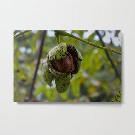 Ripe walnut on a branch Metal Print