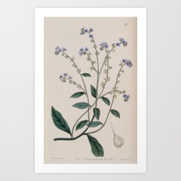 Flower 015 cynoglossum glochidiatum Burry Houndstongue24 Art Print
