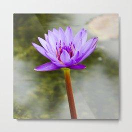 Blue Lotus Blooming in the Water Metal Print