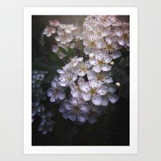 Hawthorn Blossoms Art Print