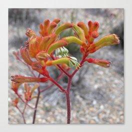 Orange Kangaroo Paw Flowers Canvas Print