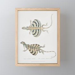 Five Banded Dragon Lizard (Draco quinque-fasciata) from Illustrations of Indian zoology (1830-1834) Framed Mini Art Print