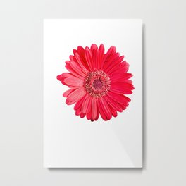 isolated red gerbera daisy on white Metal Print