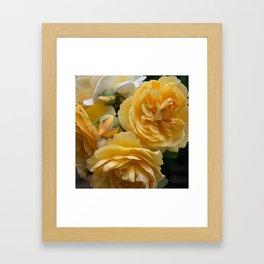 Graham Thomas old fashioned rose Framed Art Print