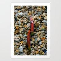 Spawning Kokanee Salmon Art Print
