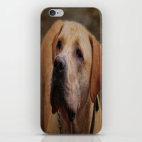 labrador iPhone & iPod Skins featuring Golden Labrador by Doug McRae