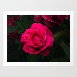 Beautiful Grande Dame hybrid rose blooming in Summer Art Print