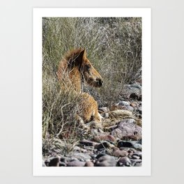 Salt River Foal Finding A Spot to Rest Art Print