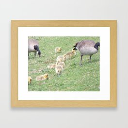Baby Canadian Geese, Wild Geese, Animals in the Wild Framed Art Print