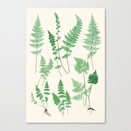 Ferns on Cream I - Botanical Print Canvas Print