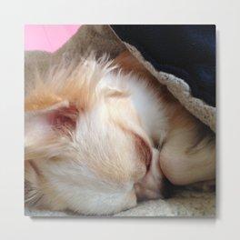 Sleepy Chihuahua Metal Print