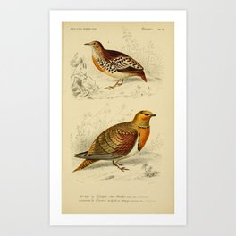 D'Orbigny - Universal Dictionary of Natural History; Birds (1849): 27 Sand-Grouse; Ortygis Art Print