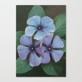 Blue Periwinkles - British Wildflowers Canvas Print