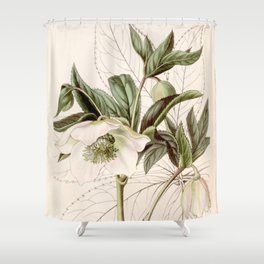 Helleborus orientalis Shower Curtain