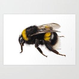 Bumblebee species Bombus terrestris Art Print