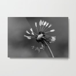 Almost naked black and white dandelion Metal Print