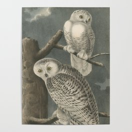 Vintage Illustration of Snowy Owls (1840) Poster