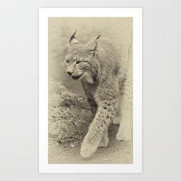 beautiful lynx Art Print