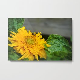 Beautiful Sunflower with an insect Metal Print