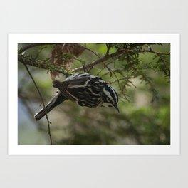 Black-and-white Warbler Art Print