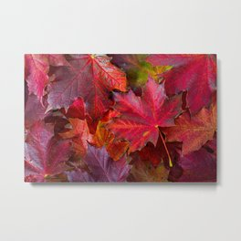 Red fall Maple Leaves Metal Print