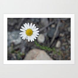 Colorado Daisy Art Print