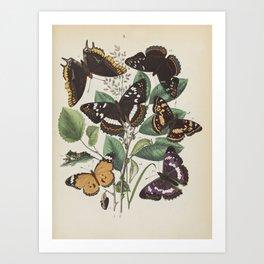 BUTTERFLIES LEPIDOPTERA Plain Tiger - Purple Emperor - Two-tailed Pasha Art Print