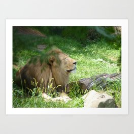basking lion Art Print