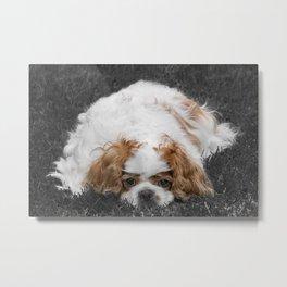 Cavalier King Charles Spaniel Dog Metal Print