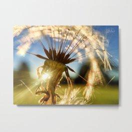 Dandelion in seed Metal Print