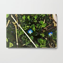 Persian Speedwell 2 Metal Print