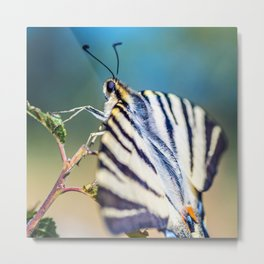 Beautiful Iphiclides podalirius butterfly insect open wings Metal Print