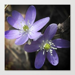 Woodland hepatica, Anemone acutiloba - a sure sign of spring Canvas Print