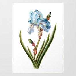 Bearded Iris Art Print
