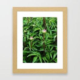 Blooming soon, the peony Framed Art Print
