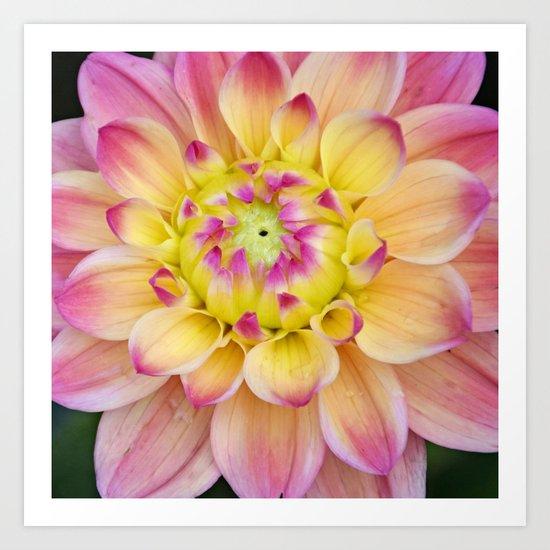 Pink Yellow Dahlia Close up Art Print