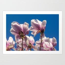 Magnolia tree blossoms Art Print