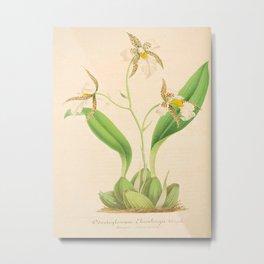 emboglossum (Odontoglossum) OrchidVintage Botanical Floral Flower Plant Scientific Illustration Metal Print