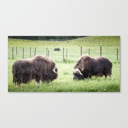 North American Wildlife - Musk Ox Cows Canvas Print
