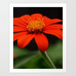 Red African Daisy Art Print