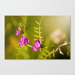 green branched tendrils of Vicia Canvas Print