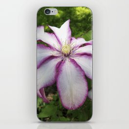 Clematis - Stunning two-tone flowers iPhone Skin
