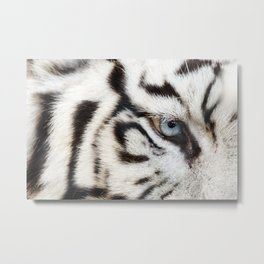 Bengal White Tiger Close Up (Panthera tigris tigris) Metal Print