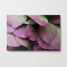 pink hydrangea I Metal Print